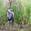 Great Blue Heron @ Magee Marsh SP, OH - May 2016