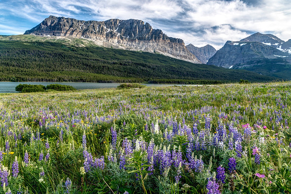 Wildflowers in Glacier