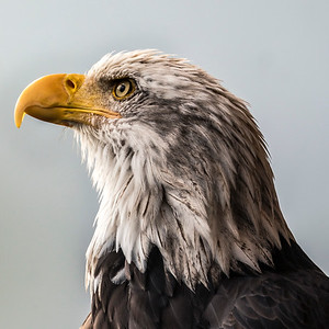 Adolescent Bald Eagle