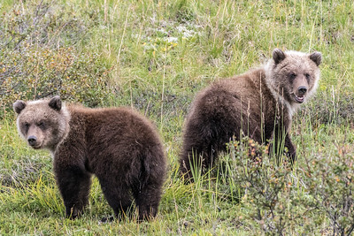 Grizzly Cubs in Denali