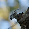 Black-and-White Warbler, Sabine Woods, 5/3/2016