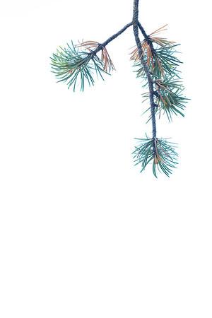 Pine Skies