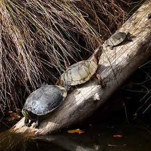 Goldilocks an the three little turtles