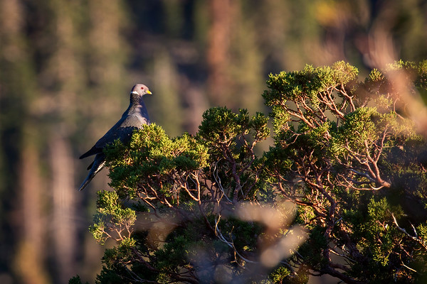 Banded Pigeon