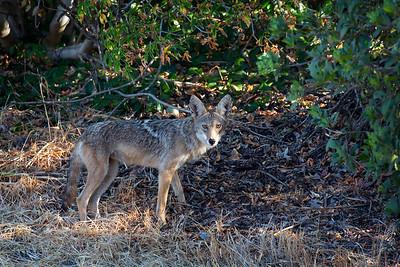 Our Neighborhood Coyote