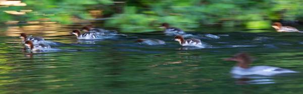 Speed Ducklings