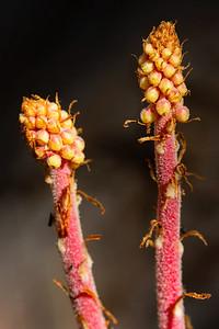 Pinedrops