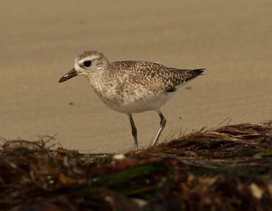Black-bellied Plover  Cardiff Beach 2014 02 27-1.CR2