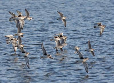 Black-bellied Plover San Elijo Lagoon 2015 11 09 -2.CR2