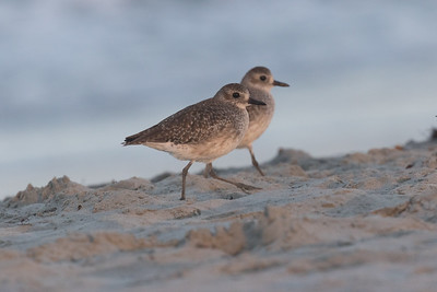 Black-bellied Plover  Cardiff Beach 2018 10 08-2.CR2