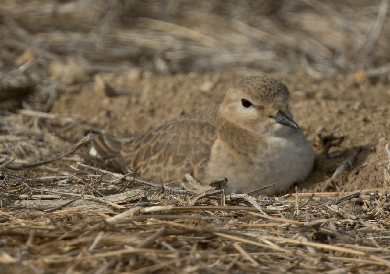 Mountain Plover Mission Bay 2017 11 29-3.CR2