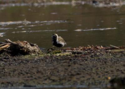 Pacific Golden-Plover San Dieguito Lagoon 2012 04 08-1.CR2