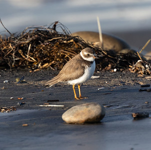 Semipalmated Plover  Cardiff Beach 2021 01 26-1.CR3