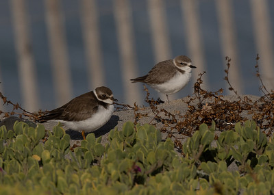 Snowy Plover  Semipalmated Plover