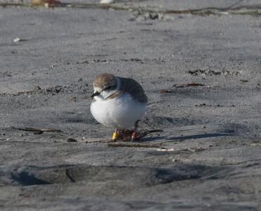 Snowy Plover Cardif Beach 2019 02 11-2.CR2
