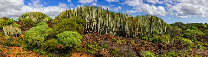 Euphorbia Canariensis - Puertito de Güimar