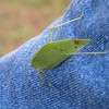 Katydid sitting on Kenny's jeans.