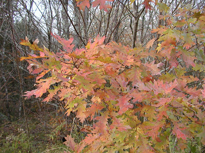 Colorful Oak leaves at Whigg Meadow near the pond.