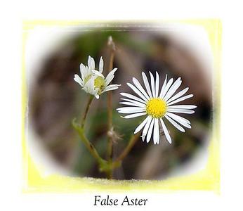 False Aster  Starr Mtn TN