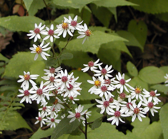 Heartleaf Asters on Starr Mtn TN one of many varieties of Fall asters.