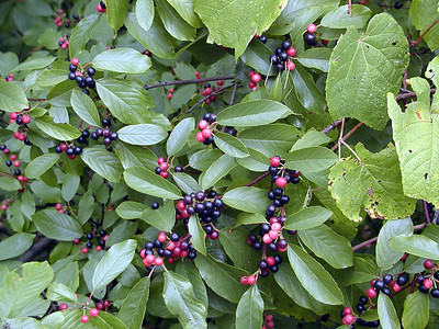 Unknown berries near the fire tower on Starr Mtn. in Autumn