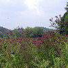Field of butterflies and purple New York ironweed<br /> Monroe Co. Jalapa Rd.  base of starr mtn tn