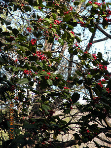 American Holly tree at the start of the hike to Yellow Creek and Bullett Creek Falls. Slopes of Starr Mtn. Cherokee National Forest, TN