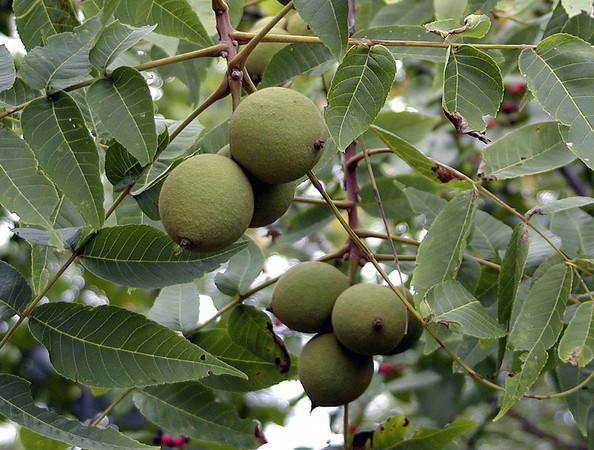 Black Walnuts Starr Mtn TN