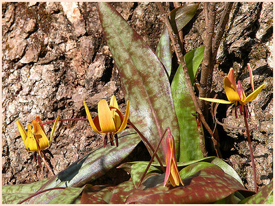 Dimpled trout lilies Spring Starr Mtn. TN