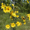 Sunflowers and butterflies. August on Starr Mtn