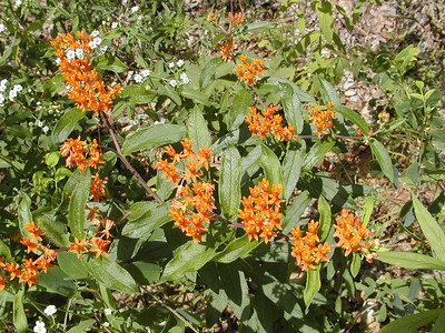 Butterfly weed and flowering spurge  Starr Mtn TN