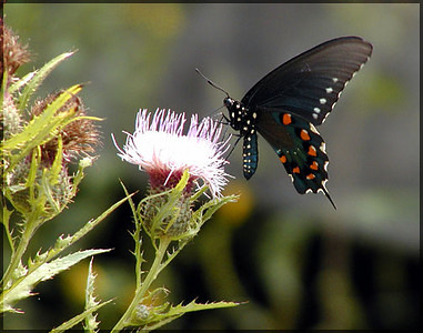 Butterfly on a thistle down at Jalapa on the roads surrounding the base of Starr Mtn.