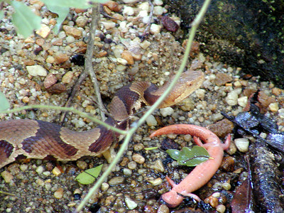 Copperhead has struck salamander and is fixing to eat him. near the Bullett Creek Trail  Starr Mtn TN