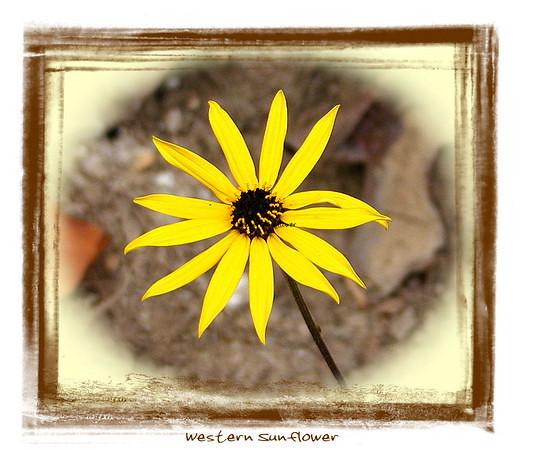 Western Sunflower in Autumn on Starr Mtn