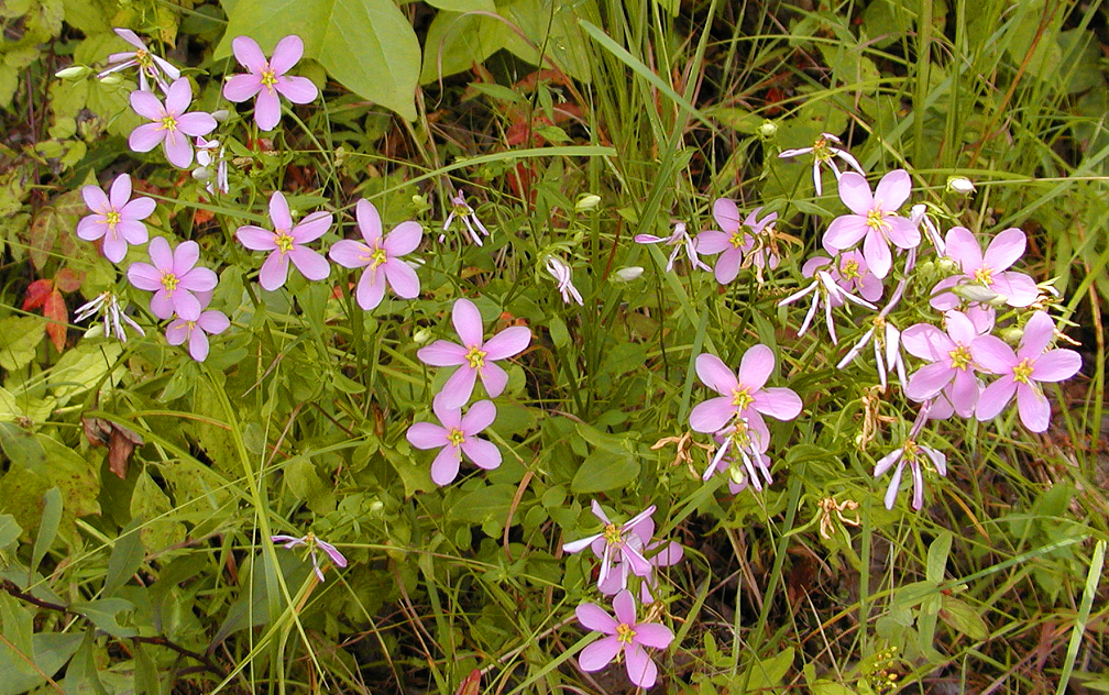 Lots of Sabatia Angularis<br /> Old Mecca Pike at Jalapa, TN