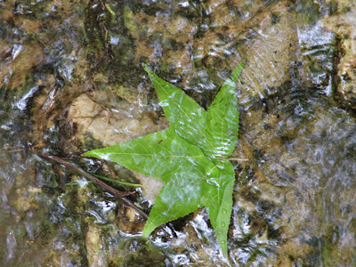 Gum leaf submerged on the sluice way cement.