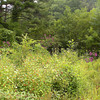 Wildflower Meadow at Scona filled with buttonweed, orange jewelweed, and New York Ironweed. <br /> We made our way through this tangle.