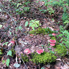 Fairy Ring of red mushrooms. more magic!