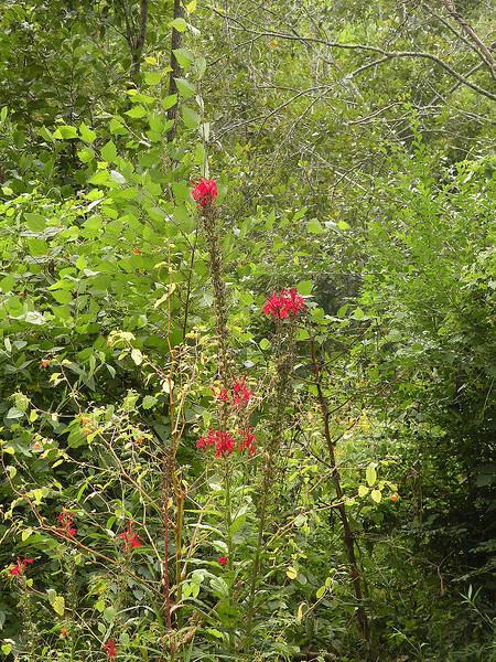 Cardinal Flower is a wetland species of the lobelia family.