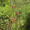 Cardinal Flower is a wetland species of the lobelia family.
