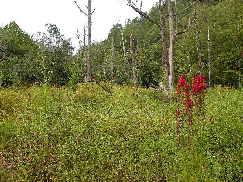A wrong turn took us through this wet meadow. What a happy accident that was! A wild paradise. <br /> The meadow is thick with cardinal flower like fountains!