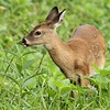Little Fawn In Field
