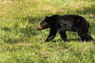 Bear Walking through Field