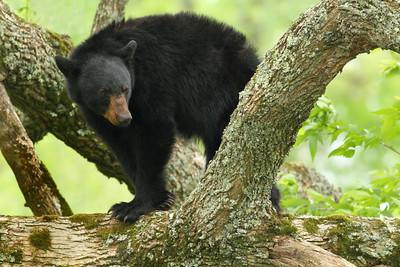 Black Bear Posing In A Tree