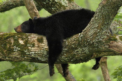 Bear Resting in A Tree