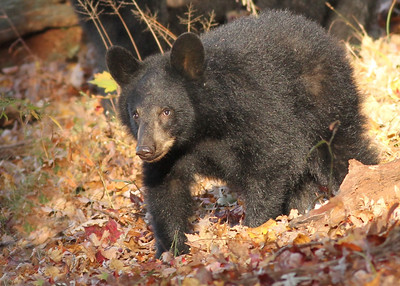 Bear cub along Hyatt's Lane in Cades Cove Tennessee