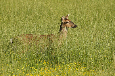 Doe in The Tall Grass