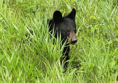 Bear cub Hiding in Grass