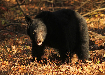 Black Bear Hyatt Lane Cades Cove