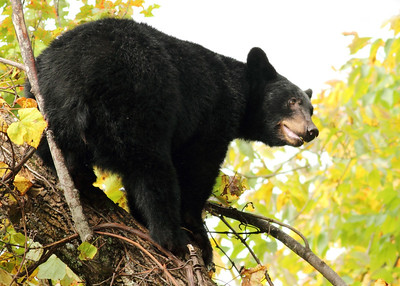 Black Bear looking out in a tree